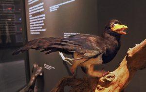 Archaeopteryx-Modell in einer Vitrine