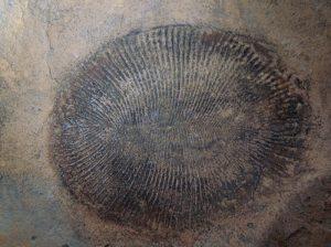 Dickinsonia ist eines der bekanntesten Lebewesen des Ediacara-Zeitalters, jetzt eindeutig als Tier identifiziert