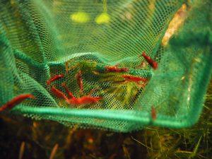 viele rote Garnelen in einem grünen Kescher
