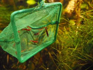 Rote Garnelen werden aus einem grünen Kescher ins Moos entlassen