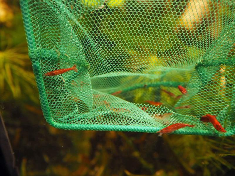 Noch sitzen viele Garnelen im Kescher, andere schwimmen über den Rand hinaus ins Aquarium.