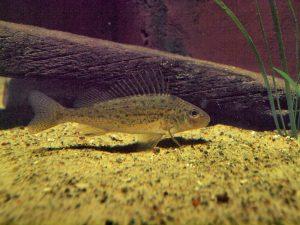 """Der """"normale"""" Kaulbarsch <i>Gymnocephalus cernua</i>, im Aquarium Stralsund"""