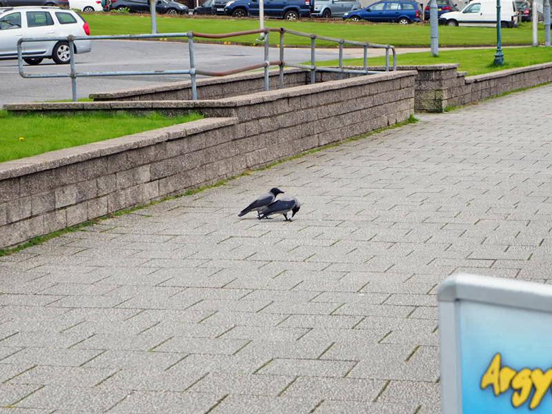 Zwei Nebelkrähen auf der Promenade, eine pickt nach etwas, das sie mit dem Fuß festhält, die andere sieht mich an