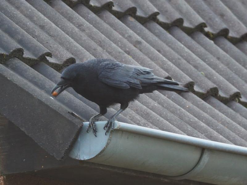 Eine Rabenkrähe sitzt auf einer Regenrinne und ist bereit zum Abflug