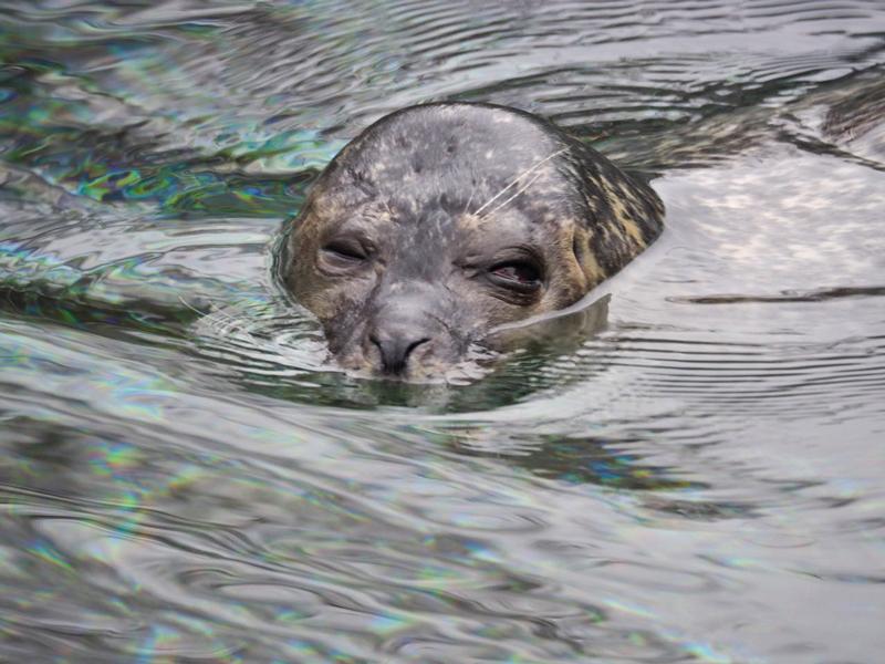 Seehund im Wasser, guckt mit einem Auge