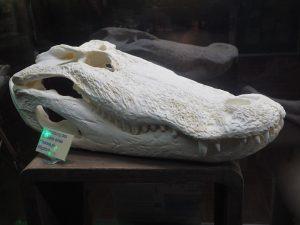 weißer Alligatorschädel vor dunklem Hintergrund
