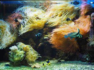 Meerwasseraquarium mit Anemonen und Fischen